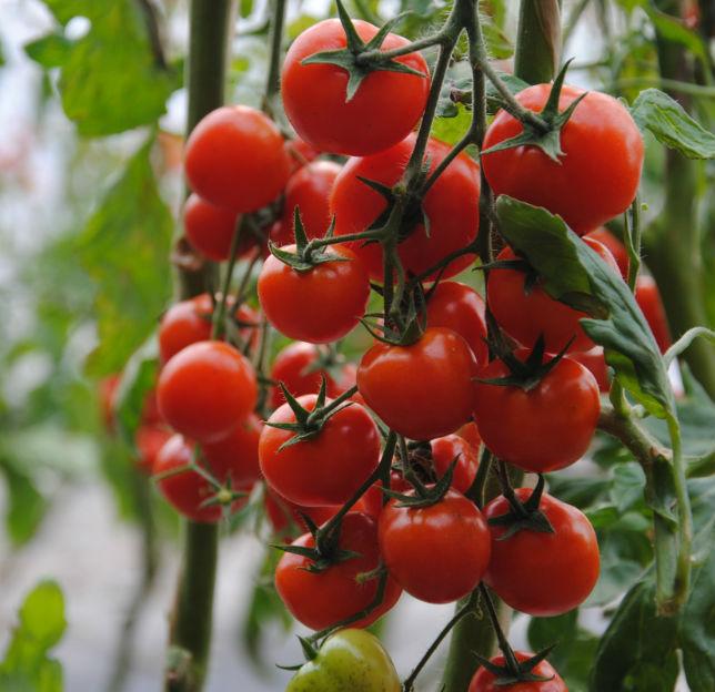 利用沼渣沼液种植的串收番茄