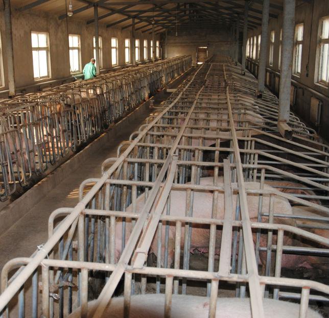 种猪场生产场景展示